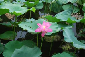 lotus 3.8 by meihua-stock