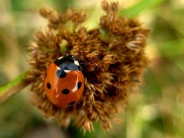 LADYBIRD 5 by iriscup