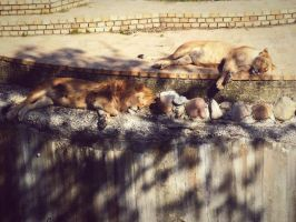 Lions by stasiabv