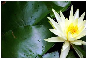 Water Lily by RaineyJ