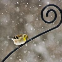 Fluffy Goldfinch by Praetori