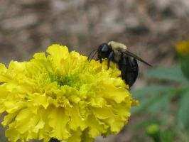 Bee on Yellow by Jyl22075