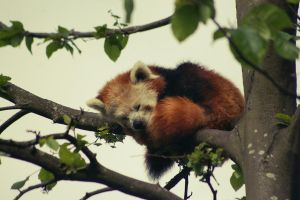 Red Panda. by PlaceInTheDirt