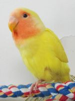 Relaxed Lutino Lovebird by koshplappit