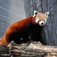 Red Panda 0935 by CrystalAnnPhotos