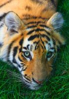 Amur Tiger 5 by Sagittor
