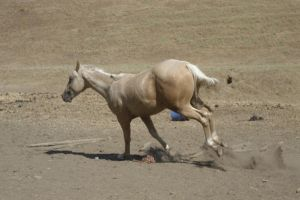Rocky Bucking -1 by rachellafranchistock