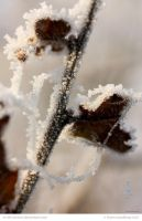 Icy Beech by In-the-picture