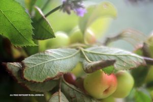 Miniature apples and lavender by GeaAusten