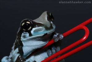 Amazon Milk Frog 02 by Alannah-Hawker