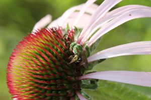 Halictid bee on purple coneflower 1 by greyrowan