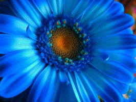 Blue Gerbera by SammiStock