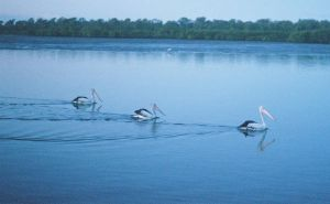 pelicans 3 by bunnyolove