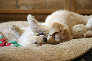Playful Babies. Goldie puppies by DreamEyce