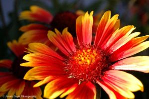 Gaillardia Flower Close Up by sweetcivic