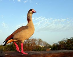 Egyptian Goose by flowerhippie22