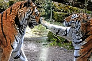 Tiger fight4 by brijome