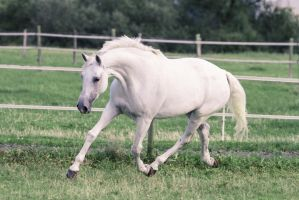 Grey Warmblood Mare Graceful Bow Trot II by LuDa-Stock