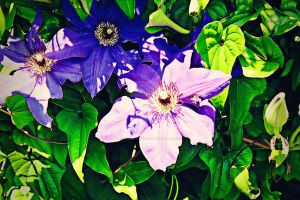 Purple Clematis by instructionfree