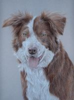 Border Collie by pawtraits