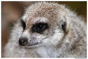Meerkat Portrait II by TVD-Photography