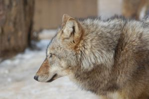 Wolf stock 5 by Ulvar-Stock