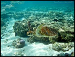 Green turtle 5 by Dominion-Photography