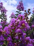 Blossoms in the Sunlight by Trumpeteer34