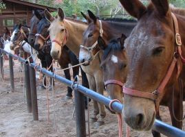 Mules and Horses All In a Row by MogieG123