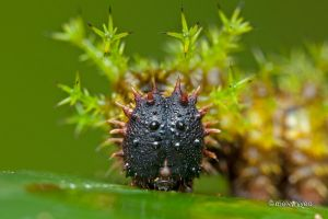 Spiky Caterpillar 2 by melvynyeo
