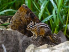 Montana Chipmunk by White-Voodoo