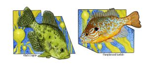 Crappie and Pumpkinseed by Ladymongoose