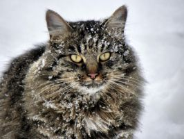 Snow cat by Biljana1313