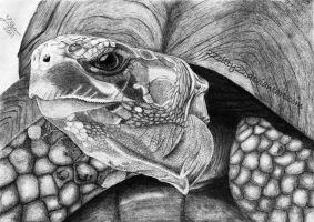 Land turtle by 22Zitty22
