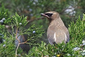 Cedar waxwing in a Cedar tree by masscreation