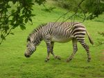 Zebra by DreamingBig