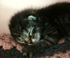 10 day old kitten by IMNIUM