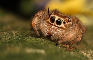 jumping spider 10 by macrojunkie