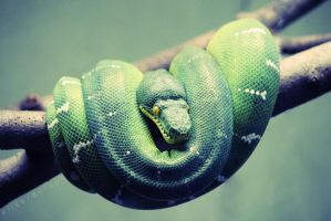 Green Tree Python by EliseDef
