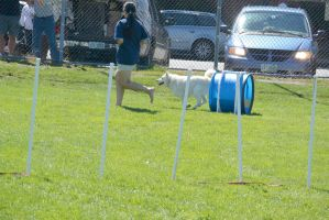 2014 Dog Festival, Agility Contest 14 by Miss-Tbones
