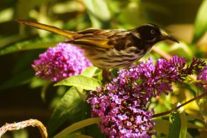New Holland Honey Eater by no-soap-was-harmed