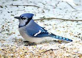Blue Jay 9 by donnatello129