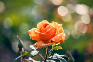 Autumn Rose by akrPhotography