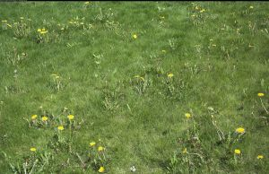 Lawn with dandelions by enframed