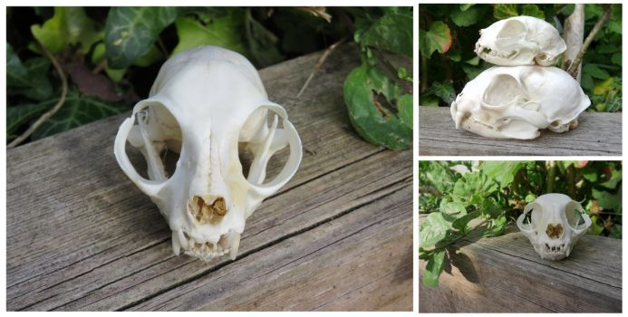 Domestic Cat Skull by Jewel-Wing