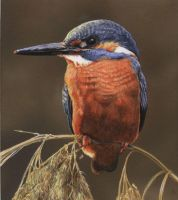 Kingfisher by Krats