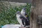 IMG_5544 - Fairy Penguins by 0paperwings0