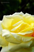 yellow rose up close. by FlashOfGrey