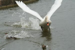 Swan Attack by tammyins