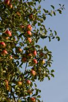 apple in the tree2 by archaeopteryx-stocks